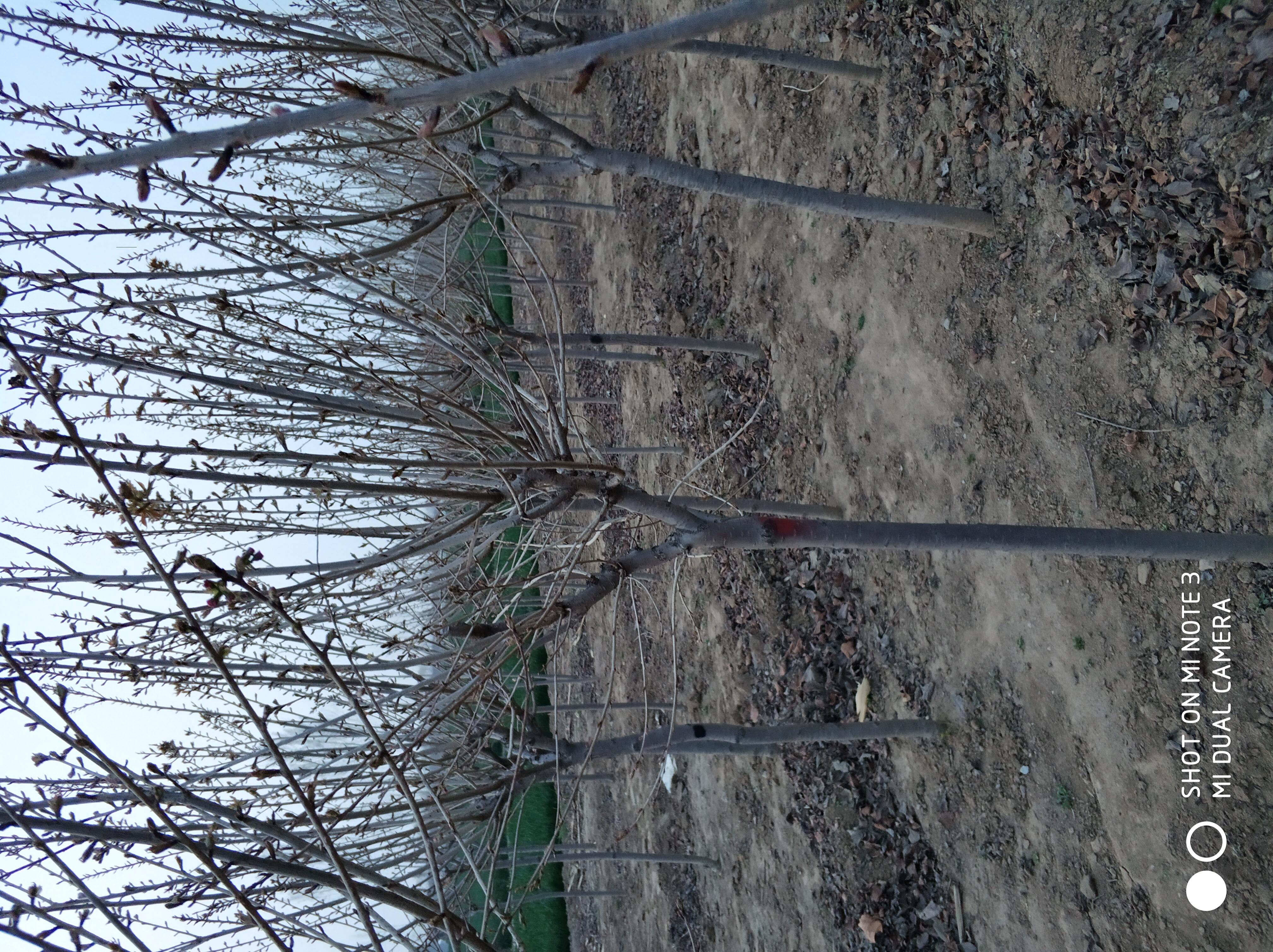 5公分樱花树基地 5公分樱花树报