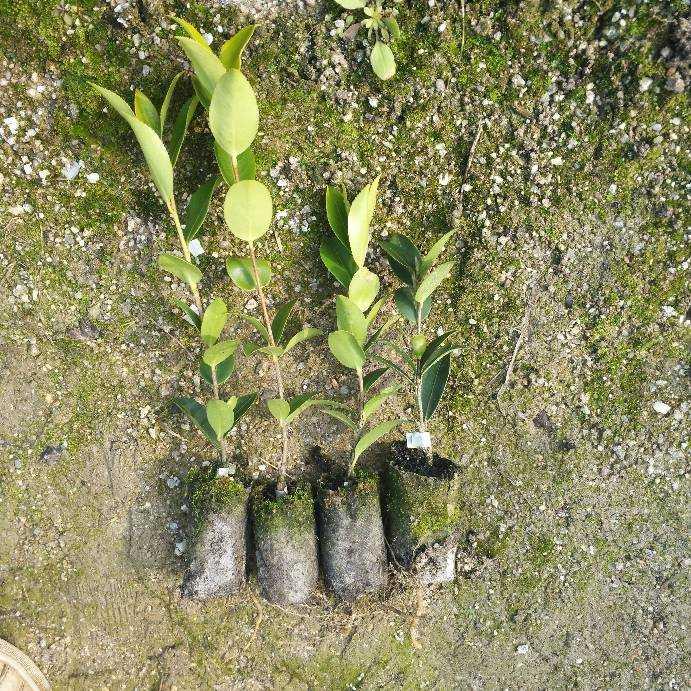 优质茶苗,优质茶苗种植基地,优质茶苗种植批发