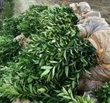 温柑特早熟品系:大分1号 柑桔苗木 嫁接 果树苗木 特早熟柑桔 温柑