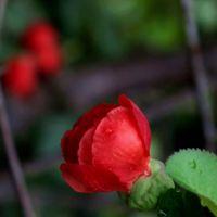 日本海棠花 日本海棠花种植基地 日本海棠花价格