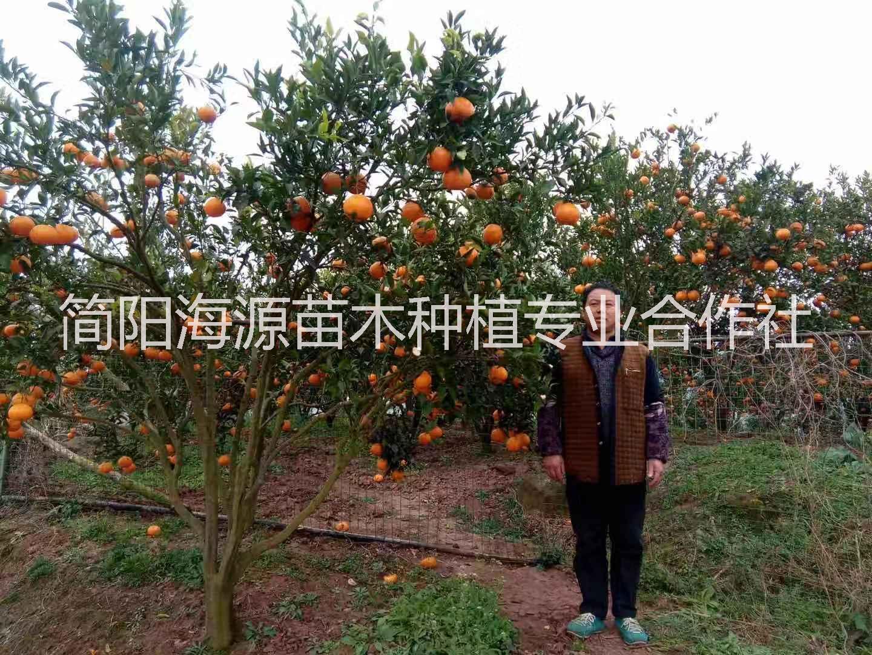 云南春见柑橘苗种植基地直销价格