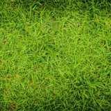 夏威夷草坪基地-广东佛山南海夏威夷草坪厂家批发价格