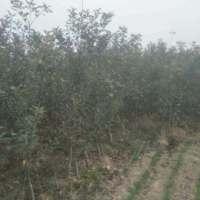 了解m9t337矮化苹果苗价值