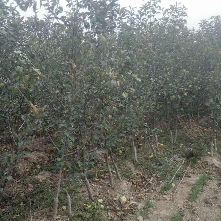 矮化苹果苗,烟富10,烟富8,m9t337苹果苗
