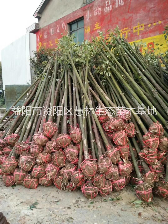 截杆香樟,3米截杆香樟,3米截杆香樟价格,3米截杆香樟批发,供应3米截杆香樟,光杆香樟