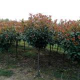 红叶石楠 基地专业多年种植经验 成活率高