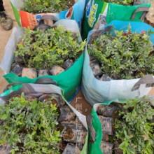 广州小硕果珍宝果种苗种植基地直销价格