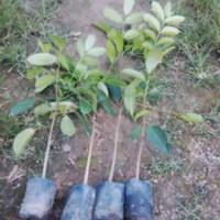 桃花心木板材的优缺点  供应桃花心