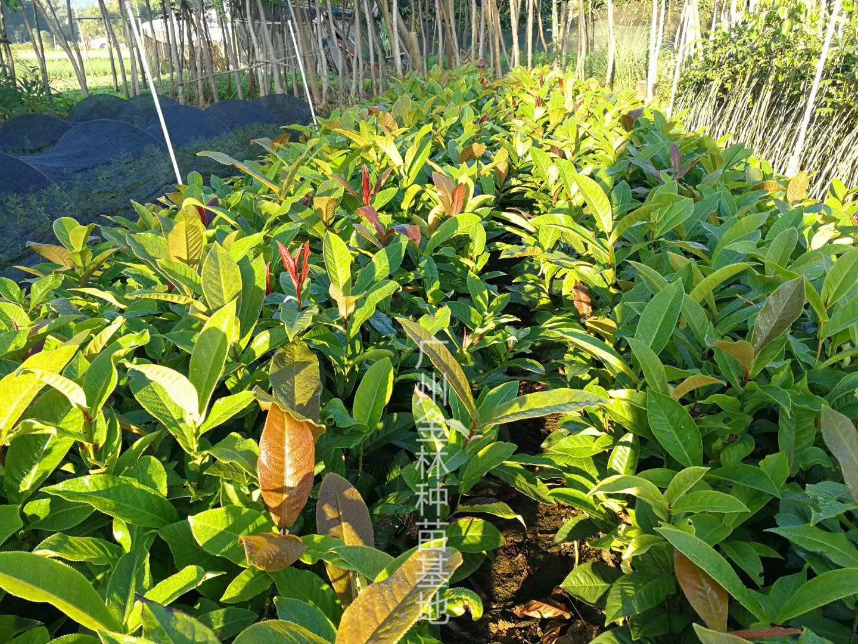 供应 越南四季抱茎茶种苗 广东种苗基地直销