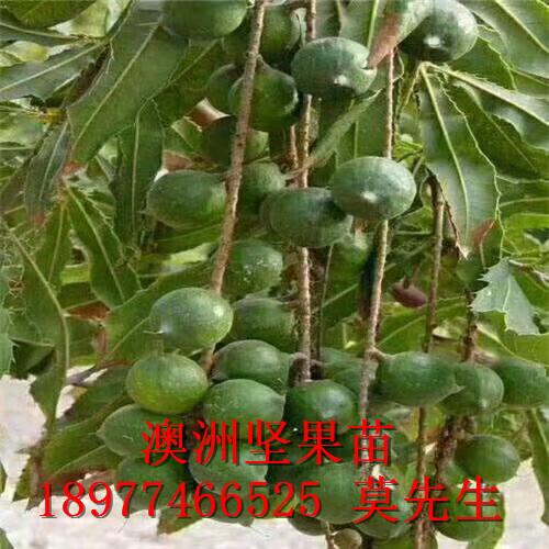 大量供应澳洲坚果种苗桂热1号|澳洲坚果树苗|澳洲坚果种苗桂热1号和A16、OC、695等品种齐全
