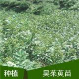 崇左吴茱萸苗-种植基地批发报价价格