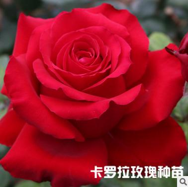 卡罗拉玫瑰花苗批发  云南卡罗拉玫瑰花苗报价  云南卡罗拉玫瑰花苗供应商   云南卡罗拉玫瑰花苗生产厂家