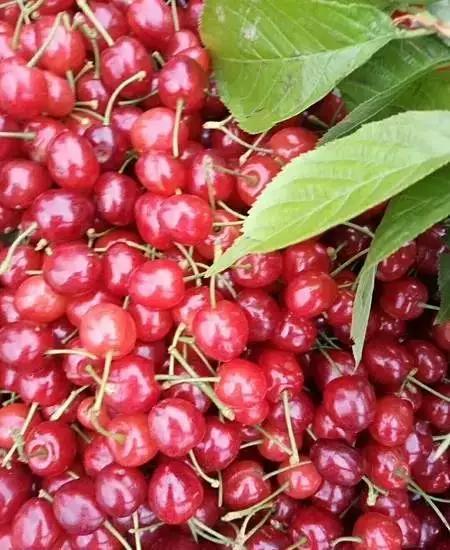 玛瑙红樱桃供应优质种苗玛瑙红樱桃苗价格