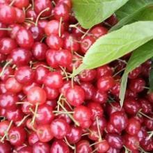 玛瑙红樱桃供应优质种苗玛瑙红樱桃苗价格批发