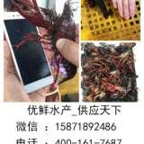 郑州活虾批发市场 郑州小龙虾活虾批发市场