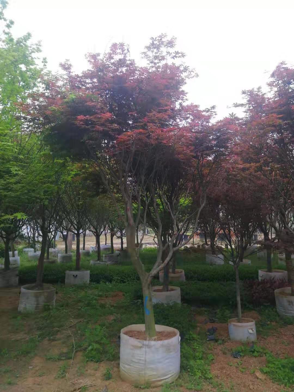 河南批发红枫树价格/优质供应商
