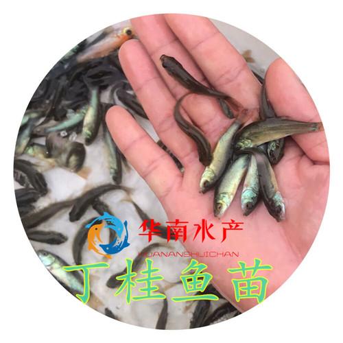 丁桂鱼,丁桂鱼苗养殖,丁岁鱼批发,丁鱥鱼养殖