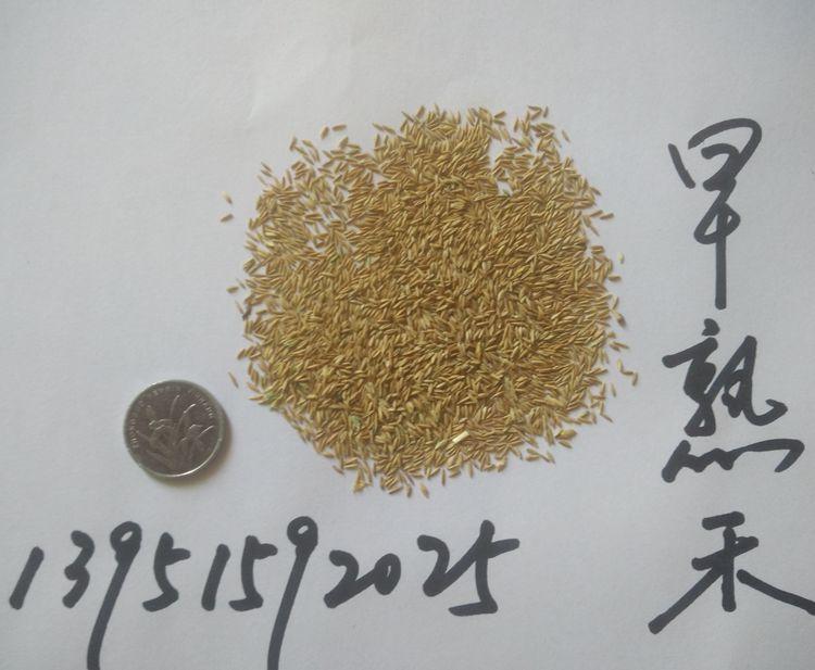 进口四季青草坪种子高羊茅狗牙根黑麦草早熟禾耐践踏庭院护坡草籽