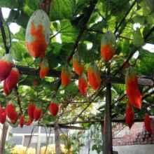 变色瓜金芒果瓜、彩瓜、老鼠瓜变色瓜种植技术变色瓜种子供应批发