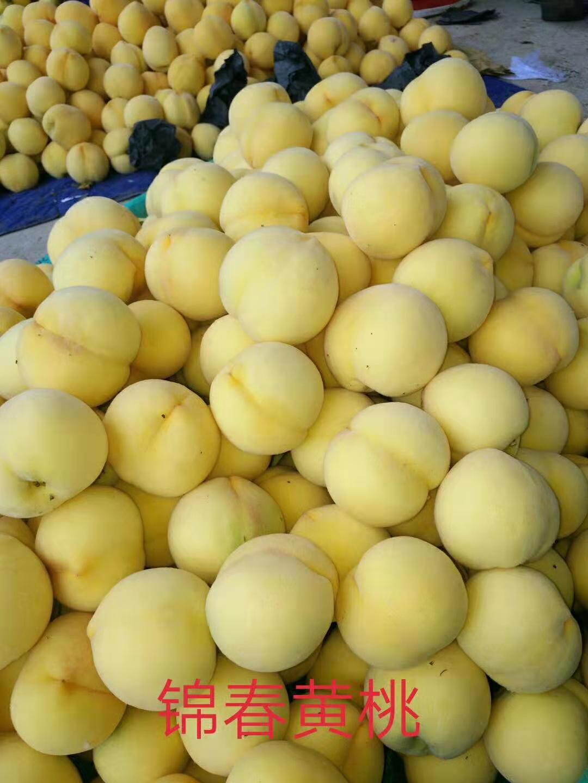 苗圃出售黄桃树苗批发供应规格齐全