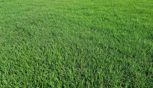 台湾草耐践踏运动草坪草地