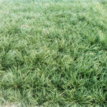 青叶苗麦冬草花卉园林绿植图片