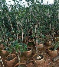 云南地区厂家基地供应桂花 , 价格低、服务好,信誉保证,苗木质量保证,规格齐全。供应云南、贵州地区批发
