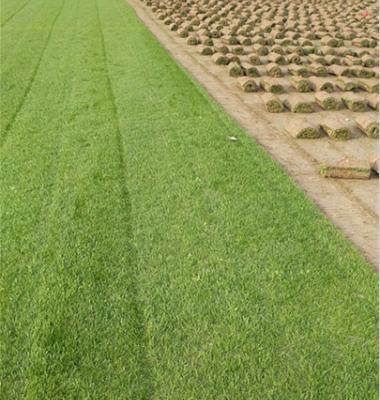 马尼拉草坪图片/马尼拉草坪样板图 (4)