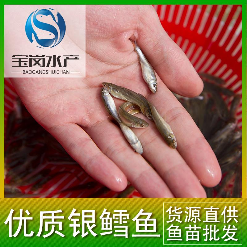 厂家直销大量批发 优质淡水银鳕鱼苗 乌兹别克纯种银鳕大鳞鲃鱼苗
