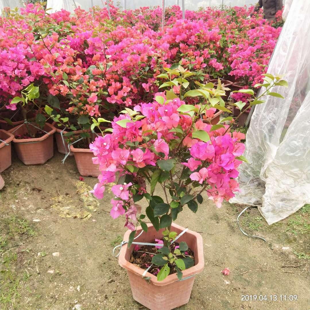 60-80cm盆栽红色三角梅梅  品种多样 规格齐全