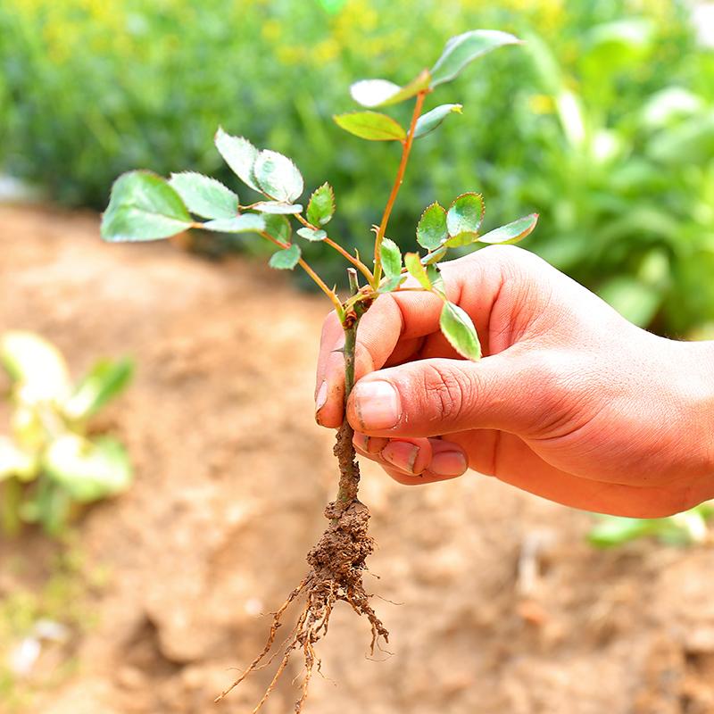 四季常开月季花卉观赏花苗批量供应