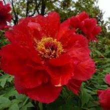 菏泽观赏花卉牡丹花盆栽花坛花带