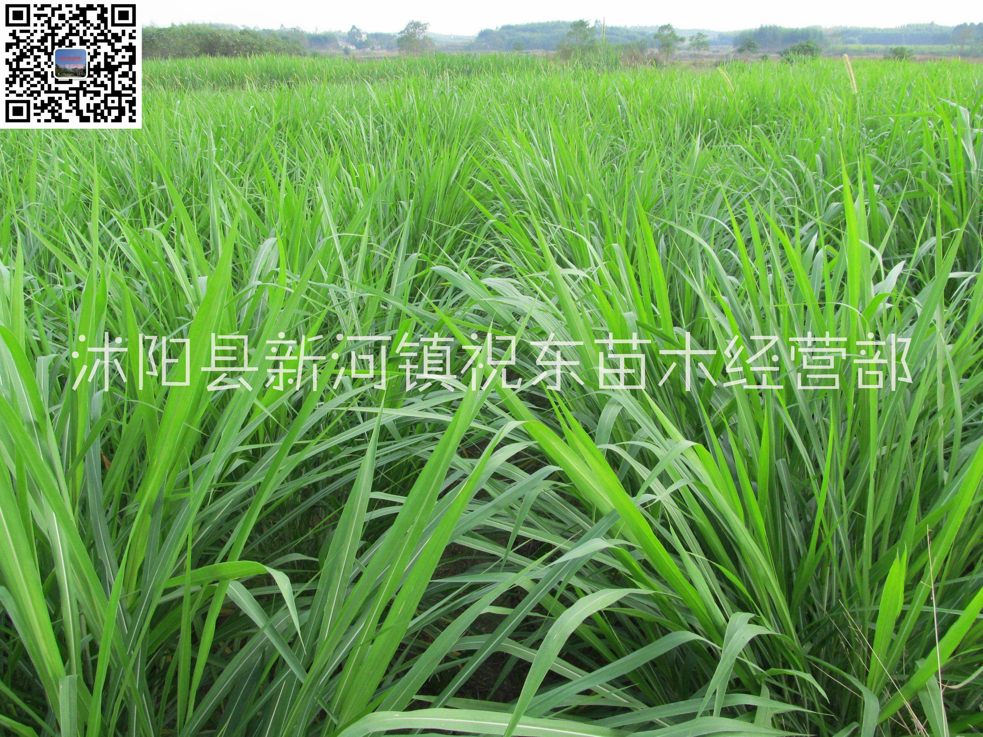 黑麦草、紫云英、苦麦菜销售