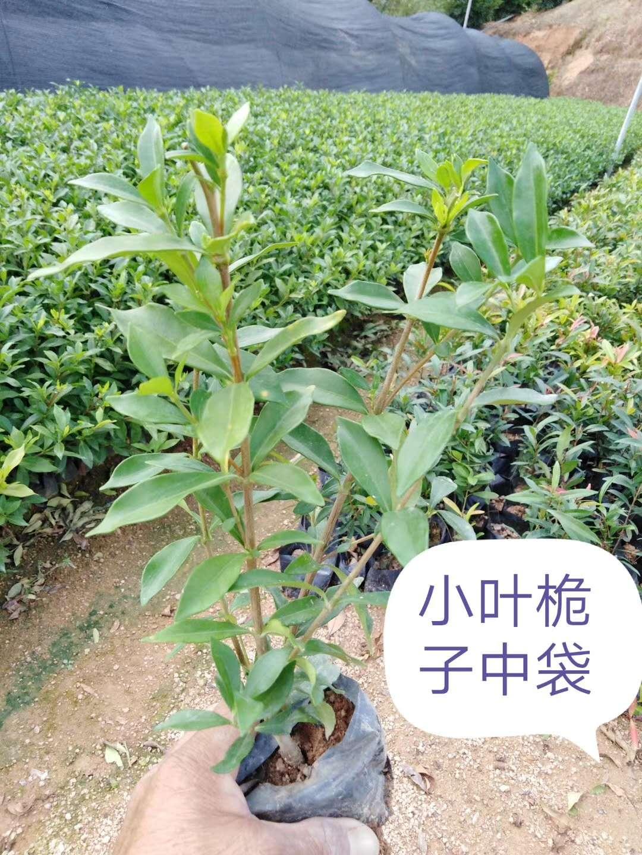 优质小叶栀子中袋种植技术-批发-厂家 小叶栀子中袋