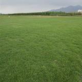 贵州供应马尼拉草厂家-广西马尼拉草 供应马尼拉草