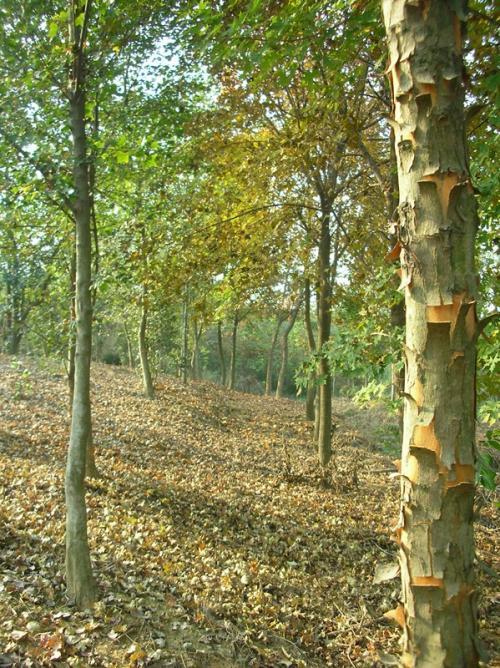 安徽滁州三角枫种植基地-草坪种植报价优质供应
