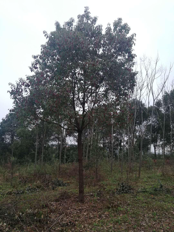 荆州市批发香樟树基地/供应商直销价格