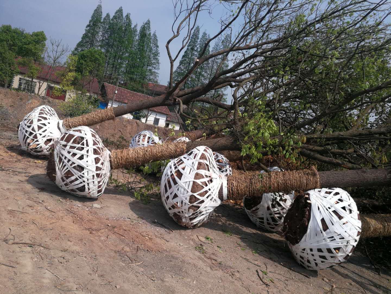 湖北荆州15公分香樟种植批发基地-优质供应商服务销售电话