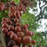 木奶果批发,上海木奶果,上海木奶果多少钱一斤,13517678028