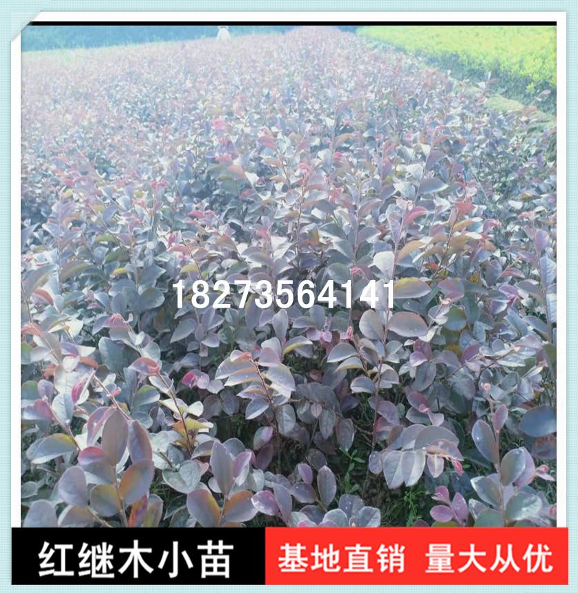 长期供应红继木小苗基地直销,郴州红继木小苗种植基地,郴州优质红继木小苗批发价