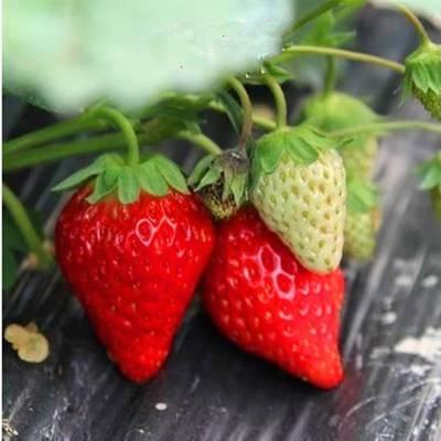 湖南草莓苗种植基地_湖南草莓苗批发价格_【泰安高新区北集坡凯硕园艺场】