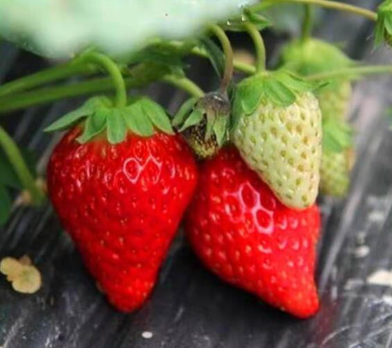 重庆草莓苗种植基地_重庆草莓苗批发价格_【泰安高新区北集坡凯硕园艺场】