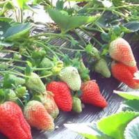 山东泰安哪里有草莓苗种植基地_山东烟台草莓苗批发价格_【泰安高新区北集坡凯硕园艺场】