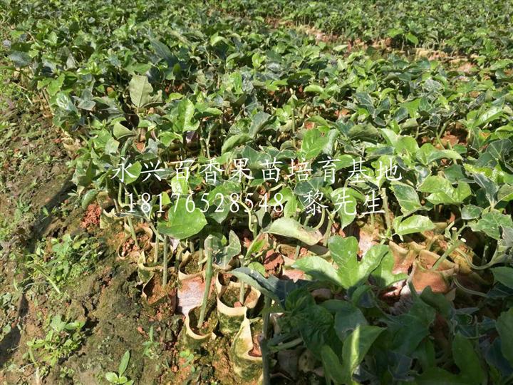 南宁紫香1号百香果苗种植基地-【永兴百香果苗培育基地】