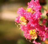 四川紫薇花瓶种植基地_四川紫薇花瓶种植批发价格_【成都华成园艺场】
