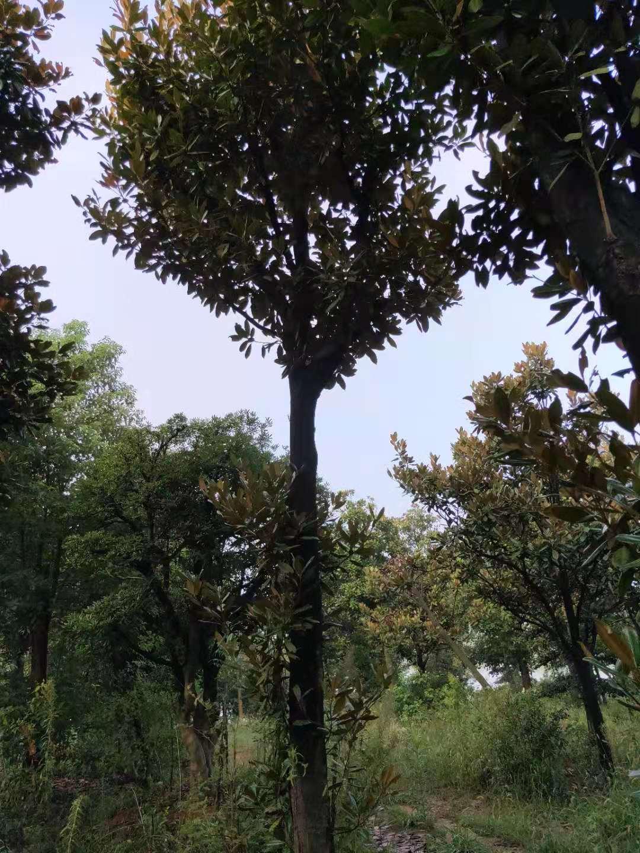 益阳广玉兰树种植基地直销价格-广玉兰怎么卖-报价