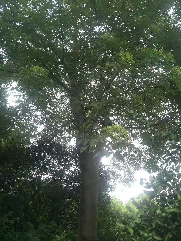 益阳18公分无患子树种植基地报价多少钱-无患子树价格哪家便宜