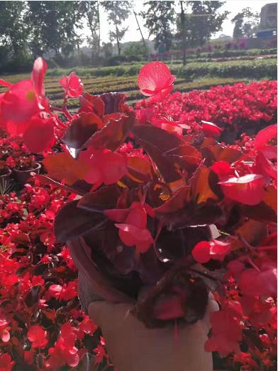 贵州绿化花卉批发价格,贵阳优质花卉供应商