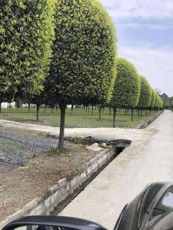 成都温江哪里有桂花树卖-基地直销批发价