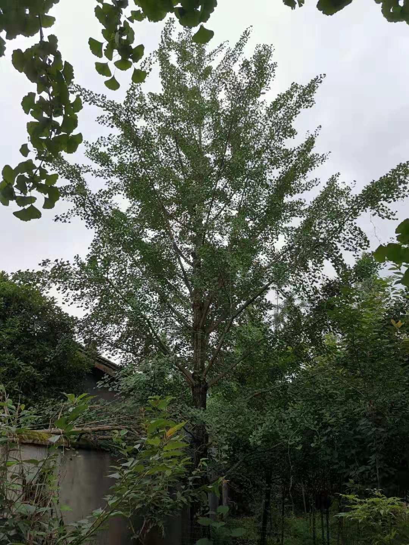四川成都哪里有卖银杏树价格便宜-批发价格哪里好-基地找三郎龙鼎园林